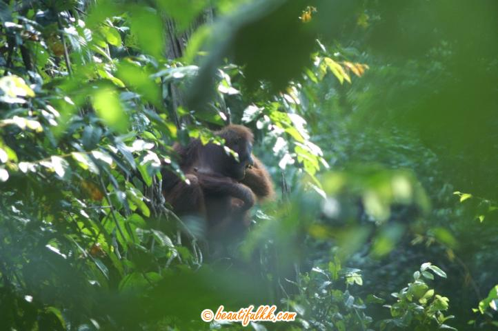 Orang Utan Spotted In The Sepilok Forest