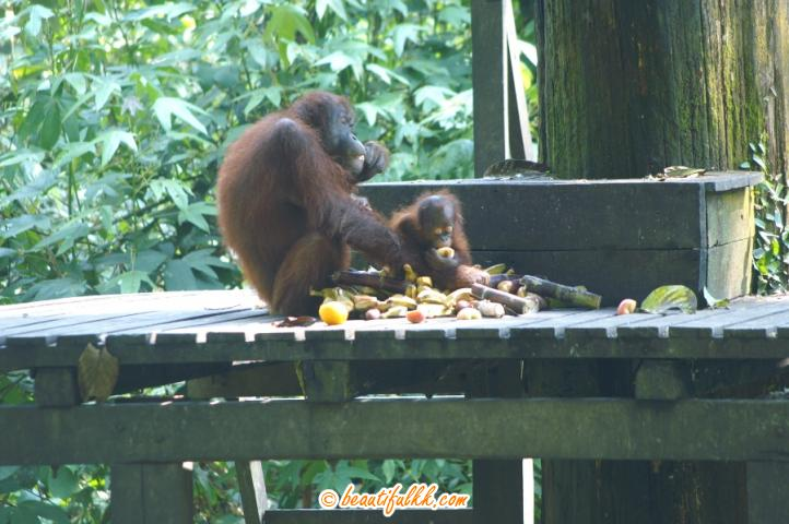 A Mother Orang Utan And Her Child On the Feeding Platform
