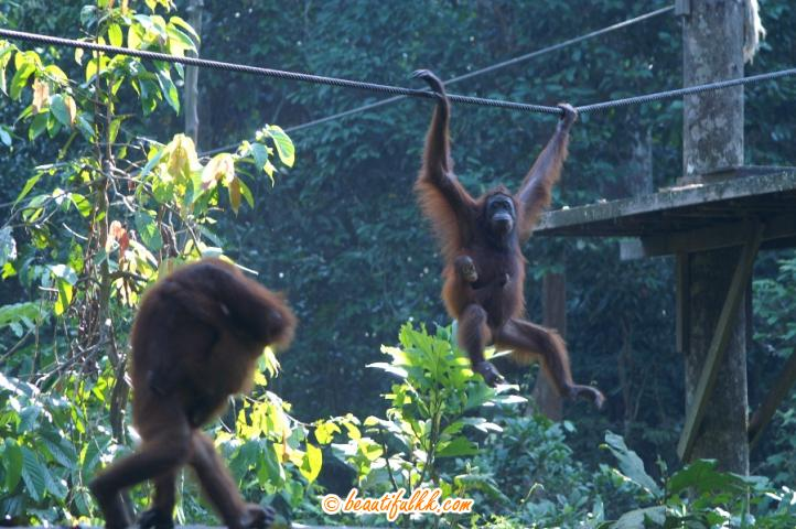 Two Mother Orang Utans Seen With Their Young Ones At The Sepilok Forest