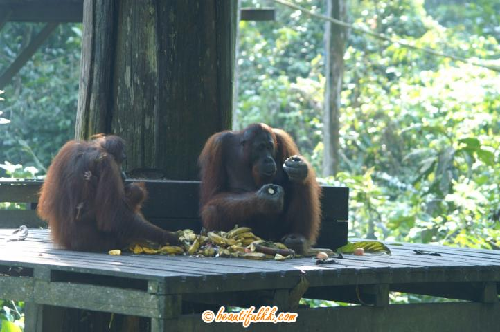 Orang Utans At The Feeding Platform