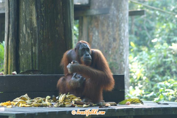 A Twenty Plus Years Old Male Orang Utan Munching On Some Banana