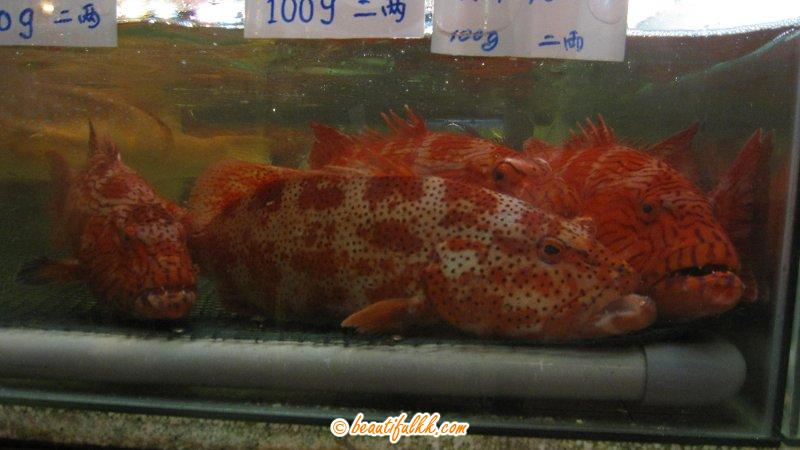 Black & Red Spotted Grouper