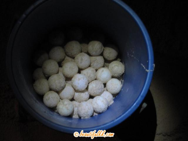 The Collected Turtle Eggs Before Transferring To The Hatchery