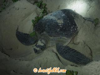 A Mother Turtle At Selingan Island (Donald Monjohi)