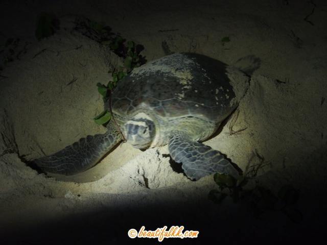 A Green Mother Turtle On Selingan Island (Donald Monjohi)