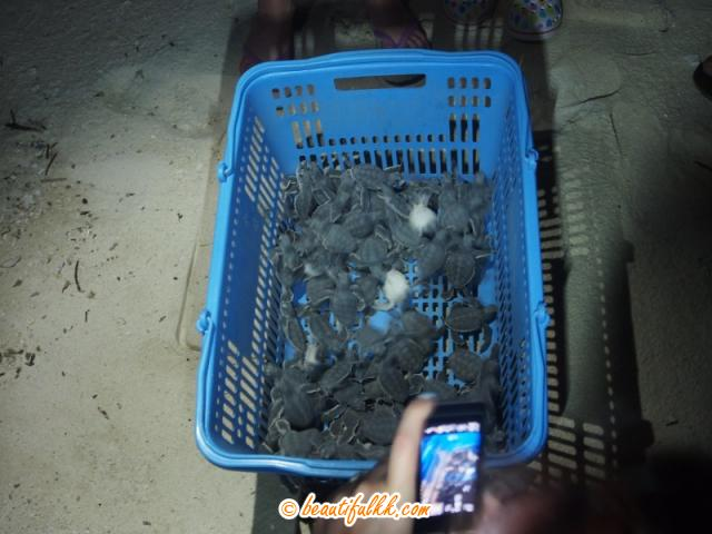 Baby Turtles In A Basket Ready To Be Released (Donald Monjohi)